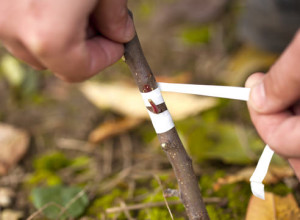 Methods for grafting trees, the timing of vaccinations, description and a photo
