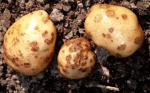 Збудник раку картоплі, способи лікування, опис і фото.