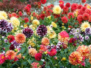Reproduction of dahlia tubers, planting, care, description and a photo