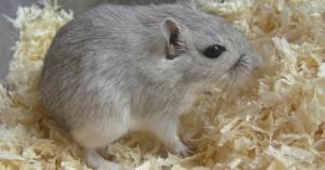 Description agouti gray with a white belly, characterization, description and a photo