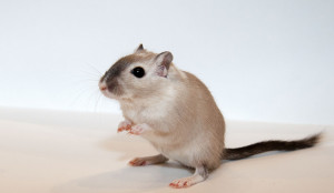 Description gerbils breed collar characteristics, content and photos