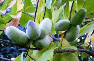 Выращивание азимины в открытом грунте в домашних условиях, описание, советы и фото.
