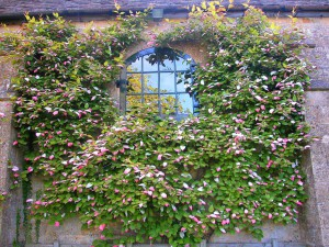 Actinidia, planting, care, varieties description and photo