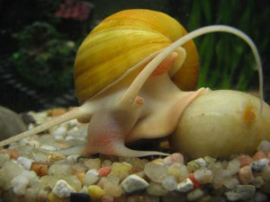 Description aquarium snail species ampulyarii, photo, maintenance and care