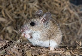 Description Peromyscus, characteristic of the breed, photos