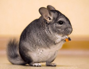 Most short-tailed chinchilla, characterization, description and a photo