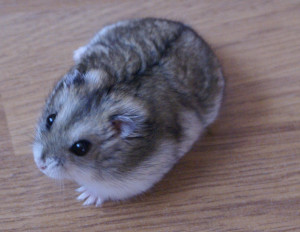 Description Jungar hamsters, photo, characteristic for home breeding and maintenance