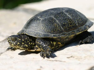 Description of the form of the European pond turtle, rock photo, characteristics