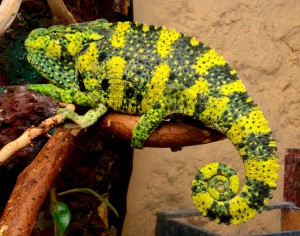 Meller's Chameleon, description, photos and content