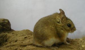 Description hamsters breed Altiplano, photo type