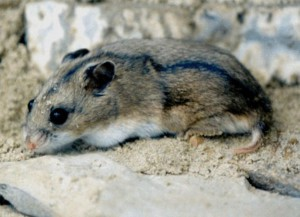 Description Daurskiy hamster breeds, photo type, characteristic