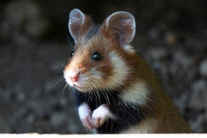 Description of the common hamster, photo type, characteristic of the breed