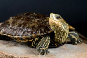 Caspian turtle, the contents in the home, care tips, feature, description and a photo