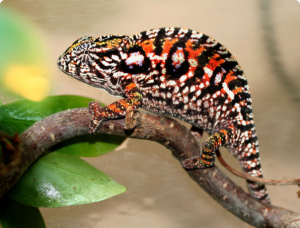 Carpet Chameleon, description, photos and content