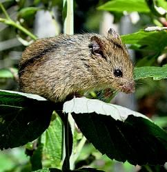 Birch mouse steppe, forest, dark. The description and photo