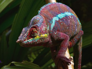 Panther chameleon, content, description and a photo