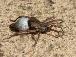 Description of species of spiders wolf characteristics, photos.