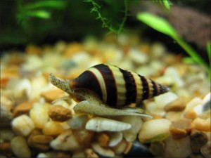 Freshwater snail Helena, content reproduction, description and a photo