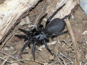 Sydney leykopautinny or funnel web, the description and photo