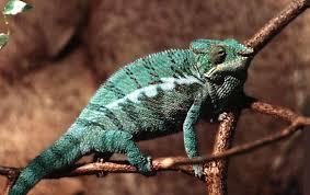 Secretive chameleon, maintenance, care, description and a photo