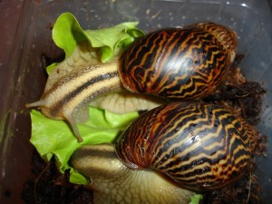 Snail Achatina Achatina, description, care and maintenance in the home, photos