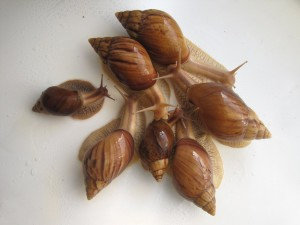Snail Achatina immakulyata breed, content, description and a photo