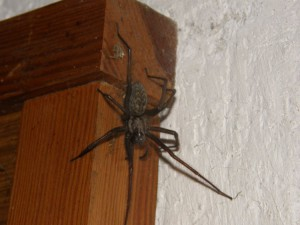 Description spider species Brownie (bedroom), photo, characteristics