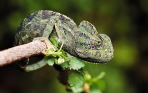 European chameleon characteristic description and photo