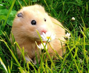 Syrian golden hamsters, care at home, content, description and a photo