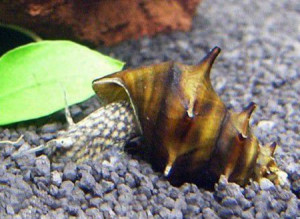 Snail Pagoda, the contents in the home, care, description and a photo