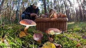 люди собирают грибы