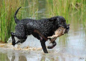 Курчавошерстный ретривер собака