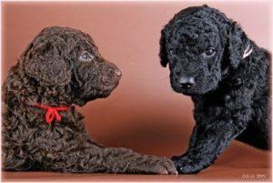 порода собак Курчавошерстный ретривер