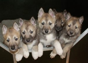 порода собак фото тамаскан