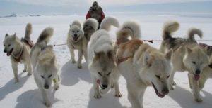 собака гренландская порода