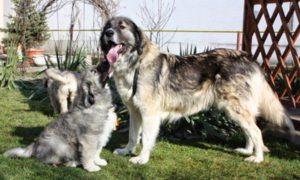 собака румынская карпатская овчарка фото