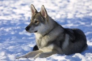 тамасканская собака цена щенка