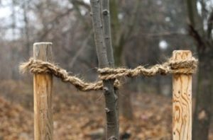 Как подвязывать деревья своими руками