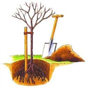 подвязка саженца дерева