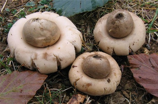 Земляная звезда (Geastrum rufescens)