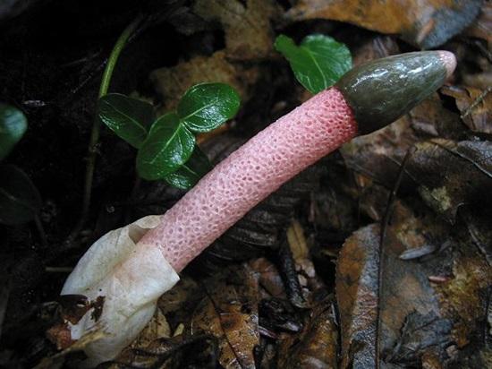 Мутинус собачий (Mutinus caninus)