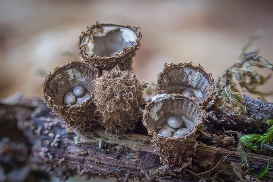 Птичье гнездо (Nidulariaceae)