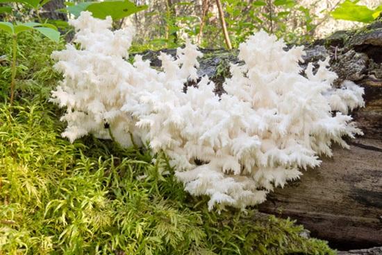 korallovye-griby