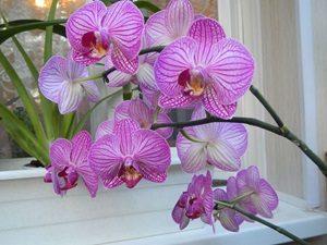 Фаленопсис орхидея фото