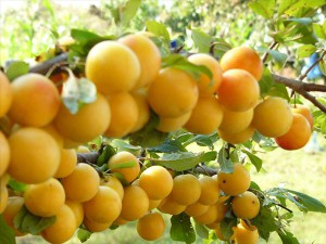 выращивание алычи