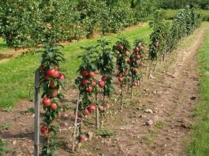 як посадити вдома сад з яблунь
