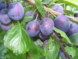 Слива та сливо-вишневі гібриди фото, догляд