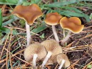 hallucinogenic mushrooms photo - sulfuric head, pictures