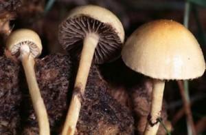 Картинка психоделического грибы навозная лысина