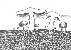 Reproduction of mushrooms, how to apply mushrooms